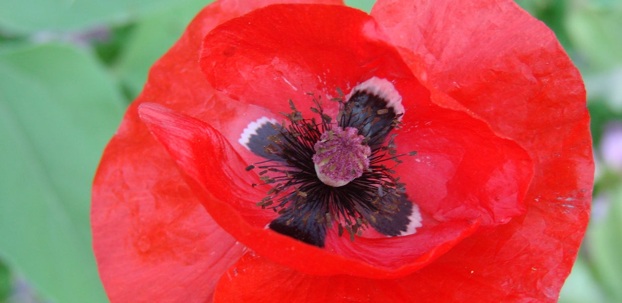 red poppy in bloom