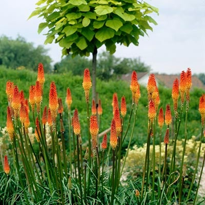 Red and Orange Red Hot Poker in Bloom