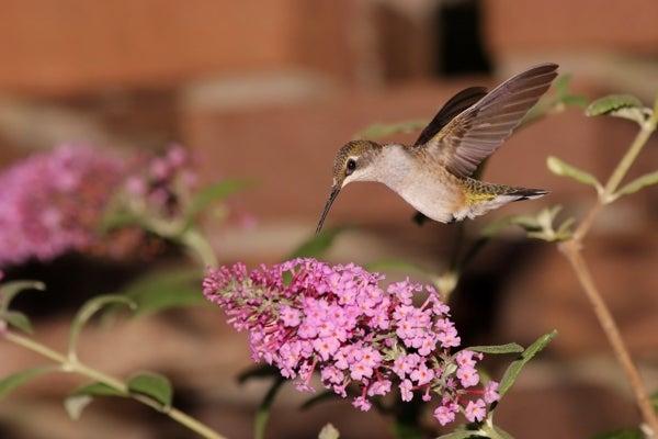 ruby throated hummingbird on butterfly bush