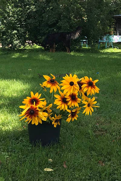 Black Eyeds Susans in Bucket