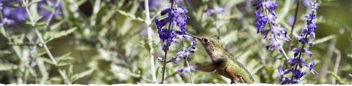 hummingbird on russian sage