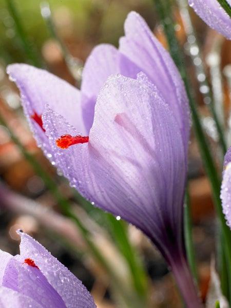 fall flowering saffron