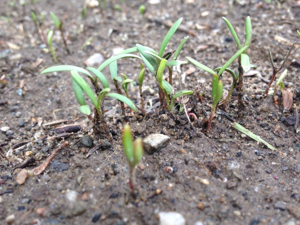 Beginning sprouts of wildflowers
