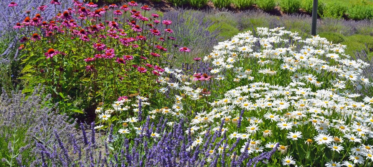 shasta daisies in a garden