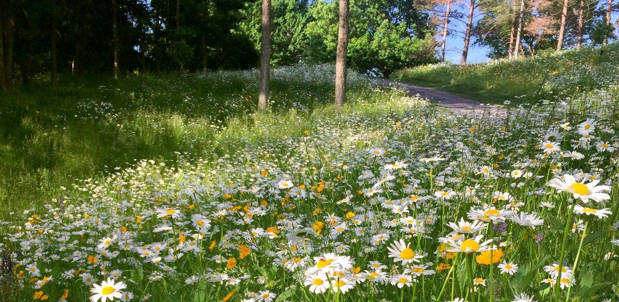shasta daisies next to a path