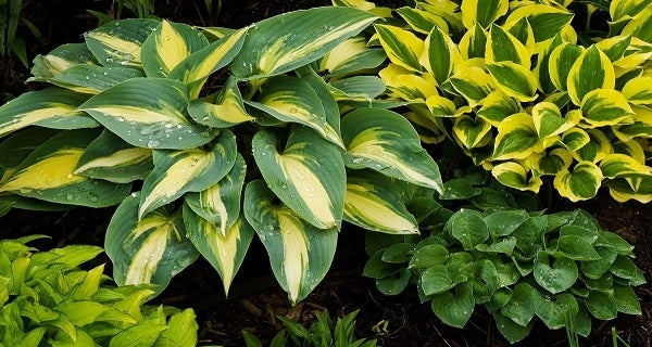 Collection of Hosta varieties shine after just being watered.
