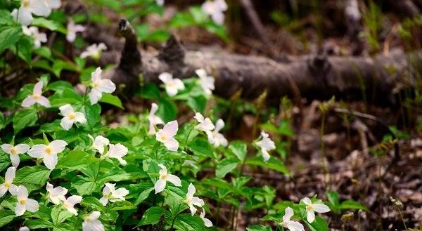 White Trillium in bloom on woodland floor