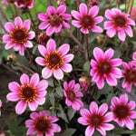 single flowering dahlia pretty woman