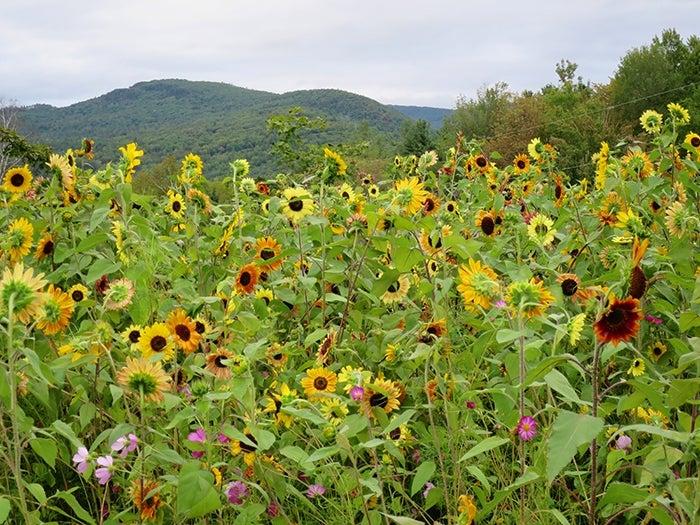 wild sunflower meadow