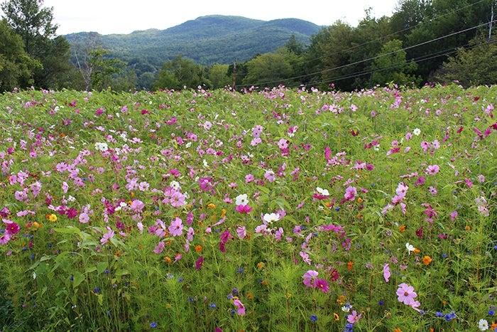 wildflower meadow pink