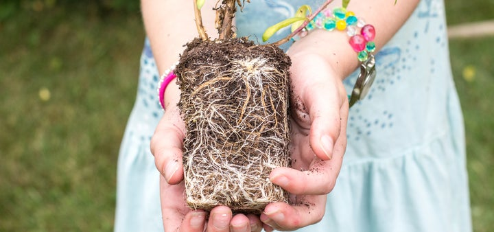 young root system