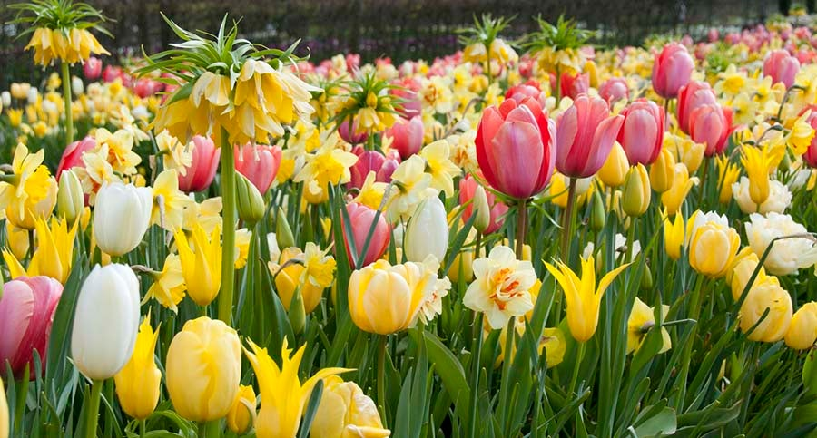 Crown Imperial, Tulips, and Daffodils
