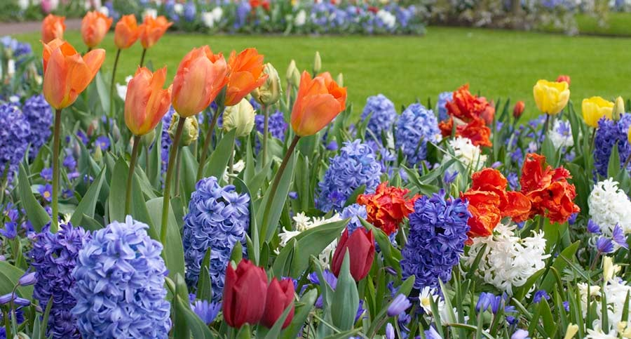 Miniature Daffodils and Grape Hyacinths