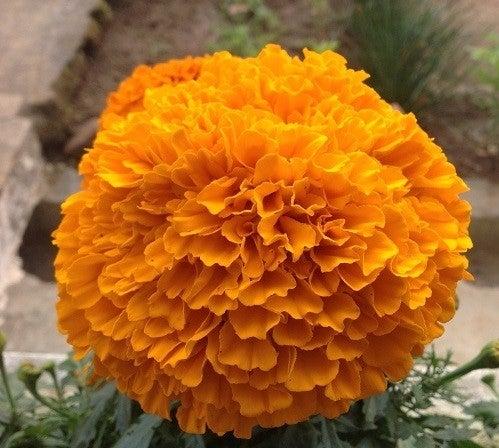 african marigold close up