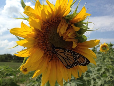 sunflower with monarch