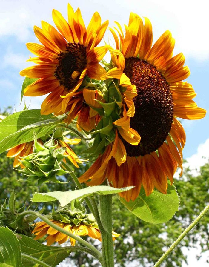 close up of sunflower autumn beauty