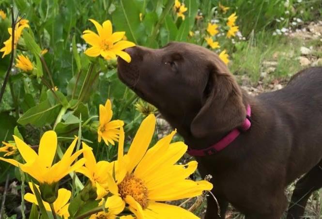 sunflower and dog
