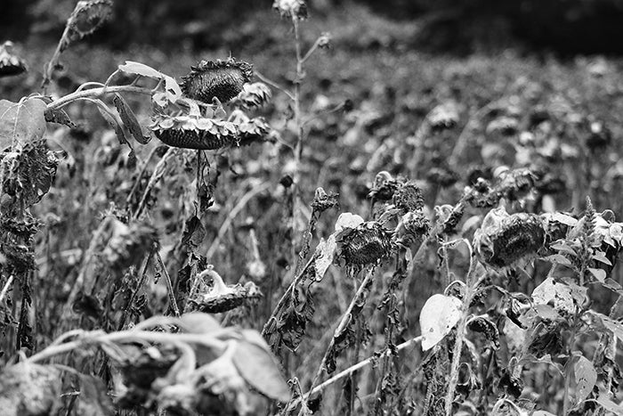 black and white image of sunflowers