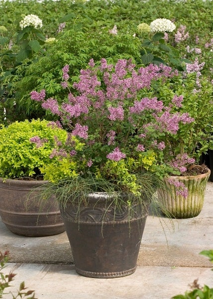 lilac shrub in container