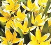 Tulips Tarda
