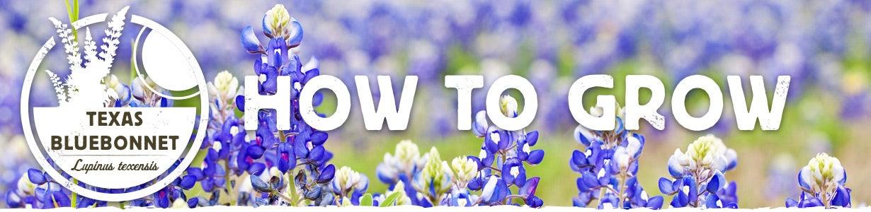 how to grow texas bluebonnet