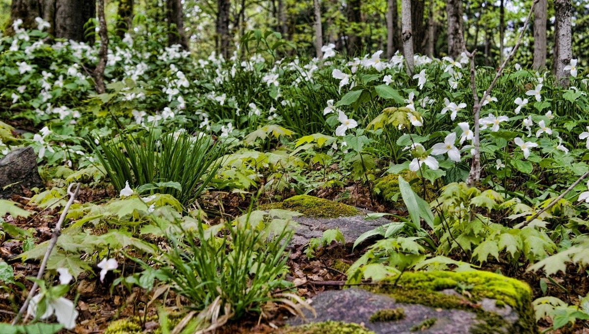 White trillium over woodland floor