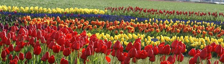 a rainbow of tulips