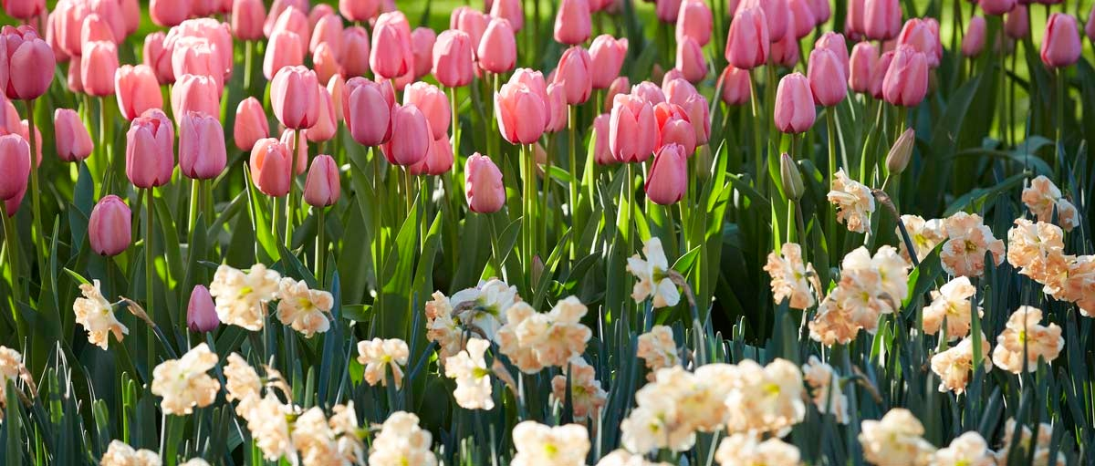 Darwin Tulips and Butterfly Daffodils