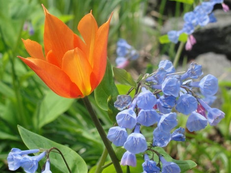 Tulips with Virginia Bluebells