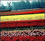 Tulip Mix in Field in Bloom