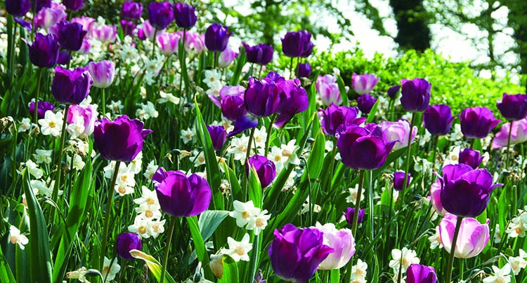 Purple Tulips and White Daffodils in Bloom
