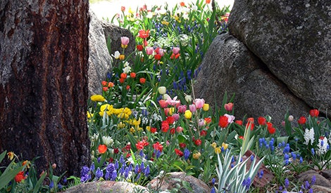 tulip and grape hyacinths