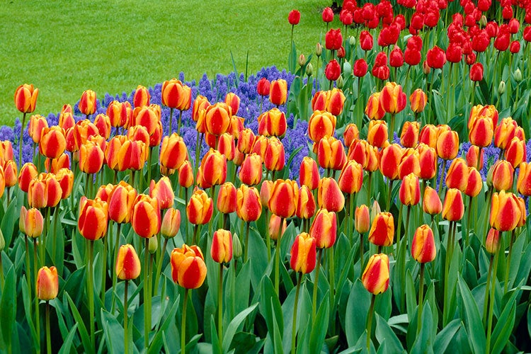 how to grow tulips simple steps