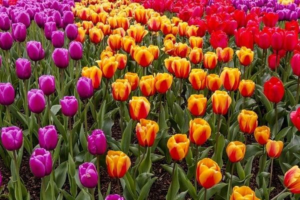 color block tulip garden