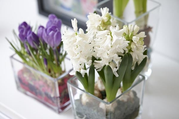 indoor forcing bulbs