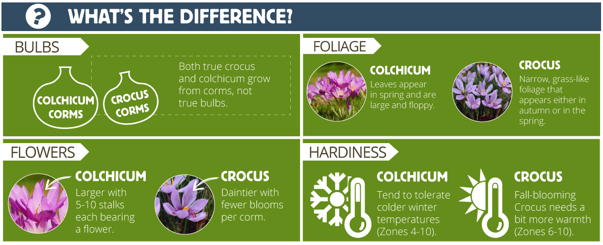 chart showing the difference between colchicum and crocus