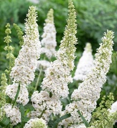 White Butterfly Bush