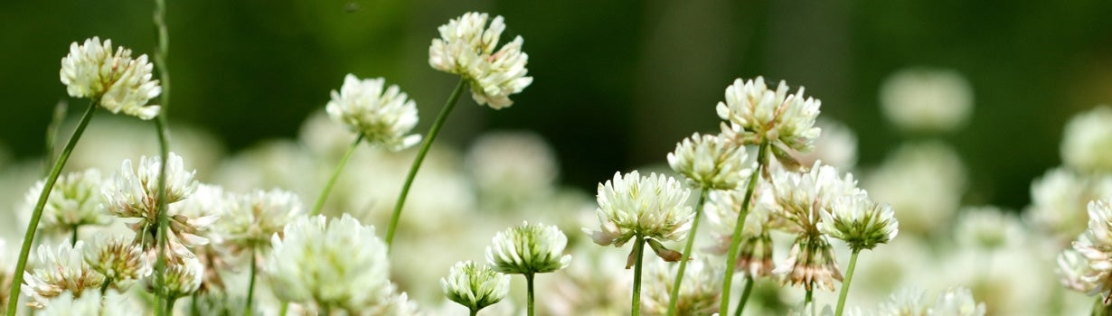 a patch of white clover