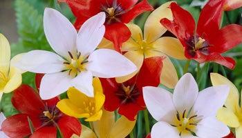 wildflower tulips