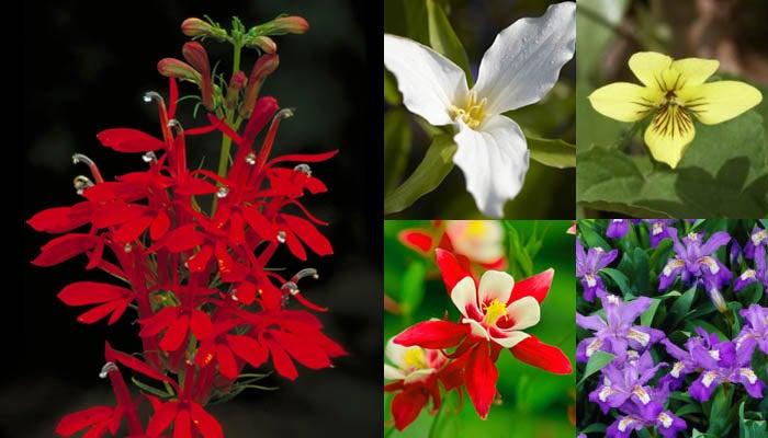 Stars of the Woodland Garden. Lobelia (Cardinal Flower), Trillium Violets, Columbine, and Iris shown here.