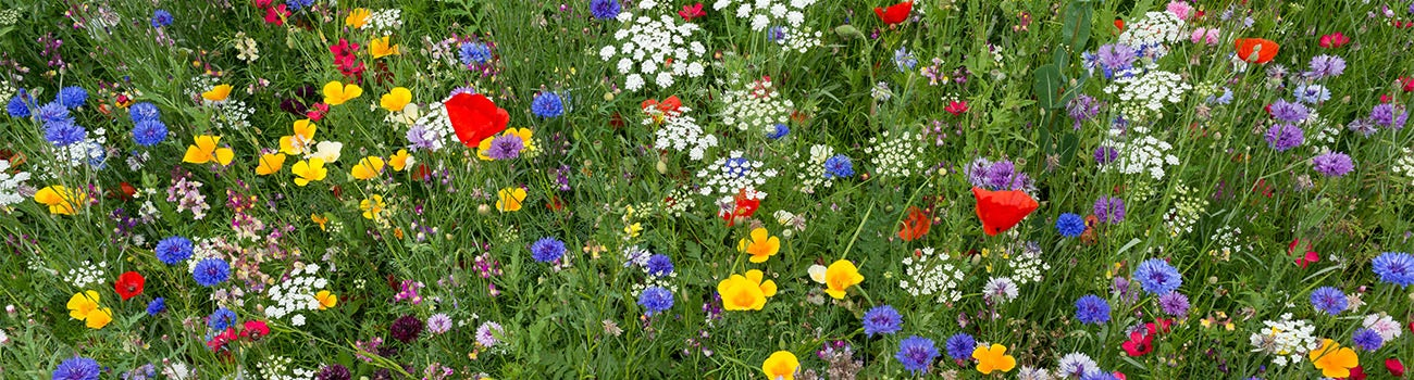 Red, blue, and white wildflower meadow mixture in full bloom featuring blue cornflowers, red poppies, and white yarrow.