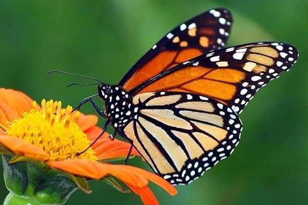 monarch on orange zinnia